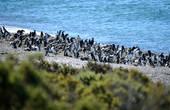 … но и там не было от них спасения! ;) Весь пляж просто таки усыпан черно-белой пингвиньей массой, что хотя бы немножко приблизило их образ к тому, который всю сознательную жизнь лелеялся в голове…