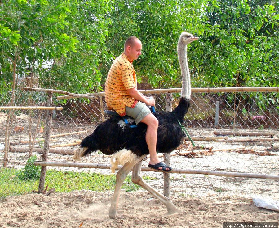 Африканский страус, самая крупная из современных птиц, достигает роста до 3-х метров, а весить может 220 кг.  Длинные и сильные ноги — всего с двумя пальцами, один из них заканчивается подобием рогового копыта — на него птица опирается при беге. Этот экземпляр не очень-то хотел бегать...