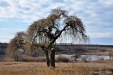 Причудливое дерево около дворца. Возможно именно на таком дереве и сидели те пресловутые волки.