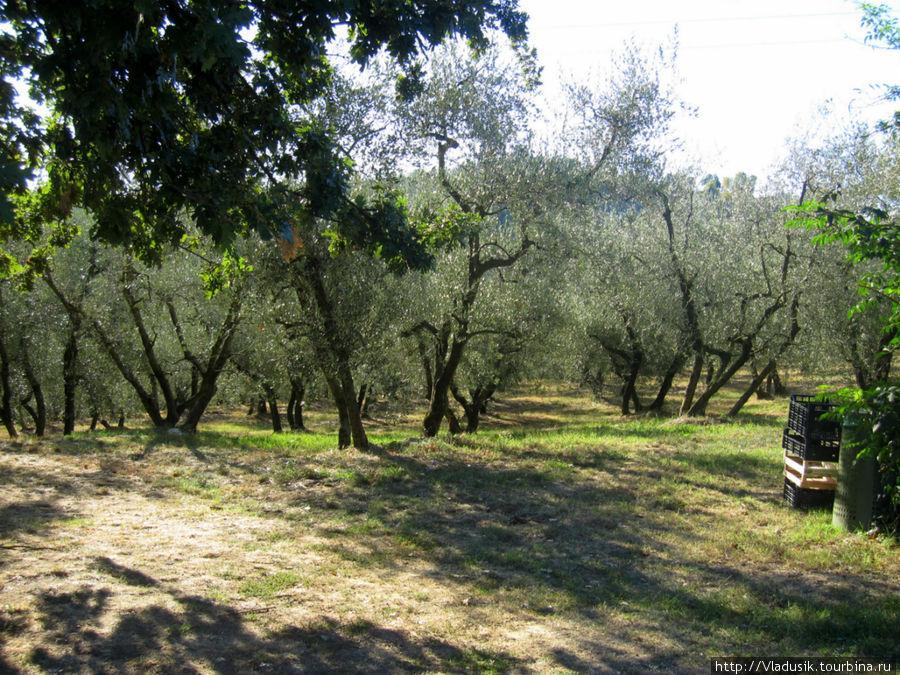 Оливковые сады