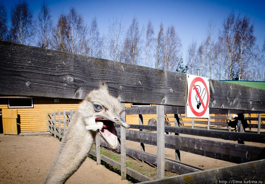 Осторожно! Страусы хоть и пугливые животные, но клюют всё подряд. Этот клюнул меня в объектив.