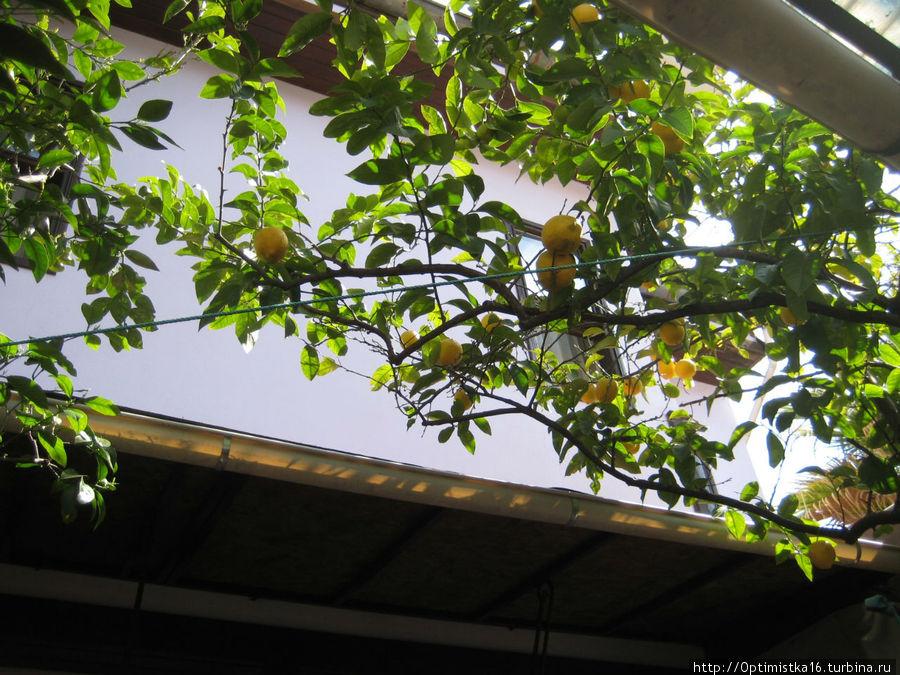 А лимоны растут в дворике перед отелем.