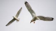 Чайки-хохотуньи вечные спутники рыбаков. У сетей всегда есть чем поживиться