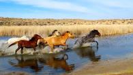 Как и в древние времена табуны лошадей оглашают окрестности топотом своих копыт. Пустыня Мойинкум.