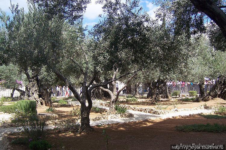 Древние маслины