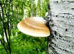 А это злейший враг березы, разъедающий ее до тех пор, пока дерево не погибнет. А люди нашли в березовом грибе полезные свойства для лечения своих болезней