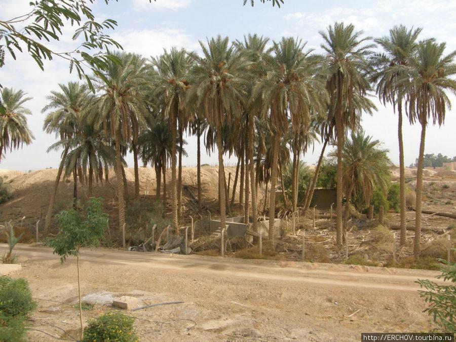 Пальма за бетонным заборо