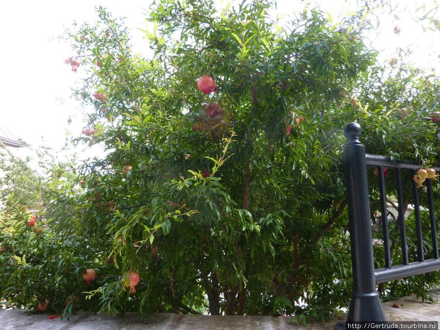 Дерево с плодами гранатов.