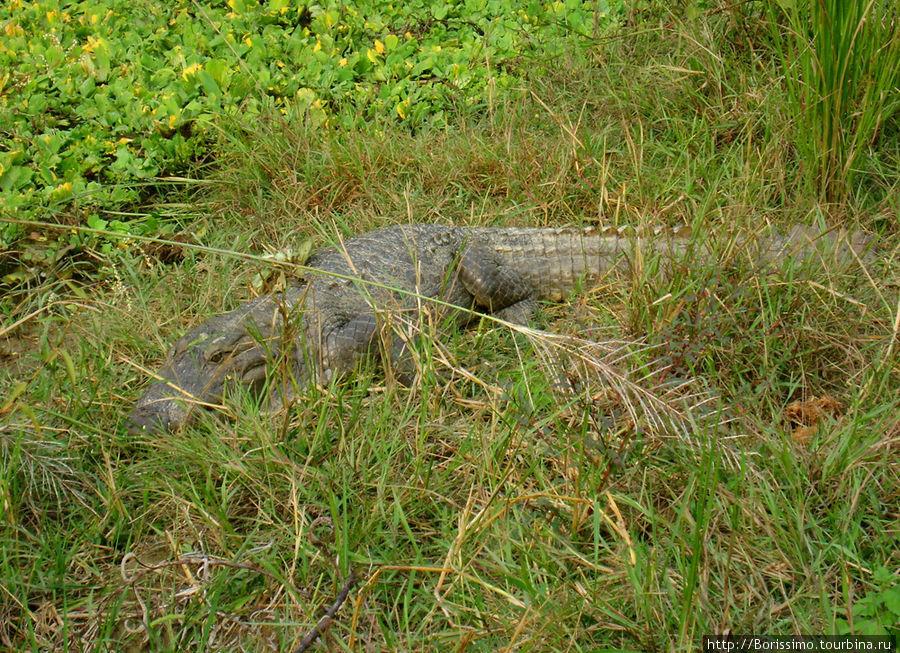 Ах вот оно что! На эту крокодилиху я чуть не наступил. Хорошо, что она предупредила меня шипением! Обратите внимание на очаровательную улыбку. Настоящая женщина :-)))