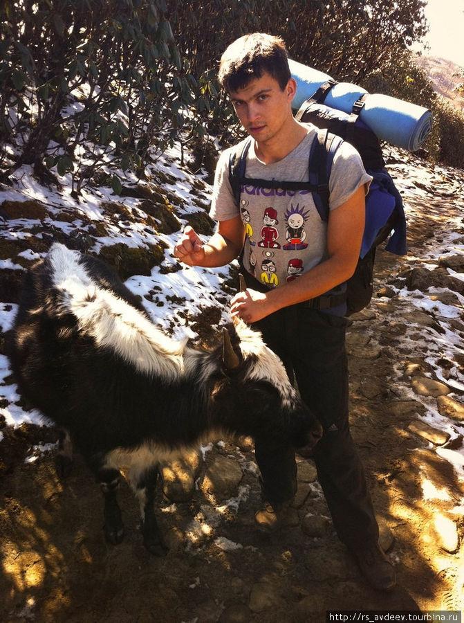 На высоте 3500м. встречались очень необычные коровы с хвостами очень похожими на лошадиные и сами коровы были вот такого маленького ростика)