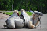 Северный верблюд