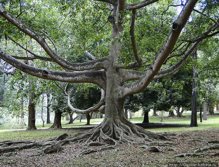 Рукастое дерево — оно сло