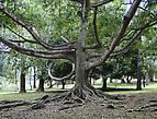 Рукастое дерево — оно словно спрут протягивает к вам свои ветви-щупальцы