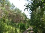 в лесу, кроме сосен, еще растут березы, дубы, рябина, черная ольха