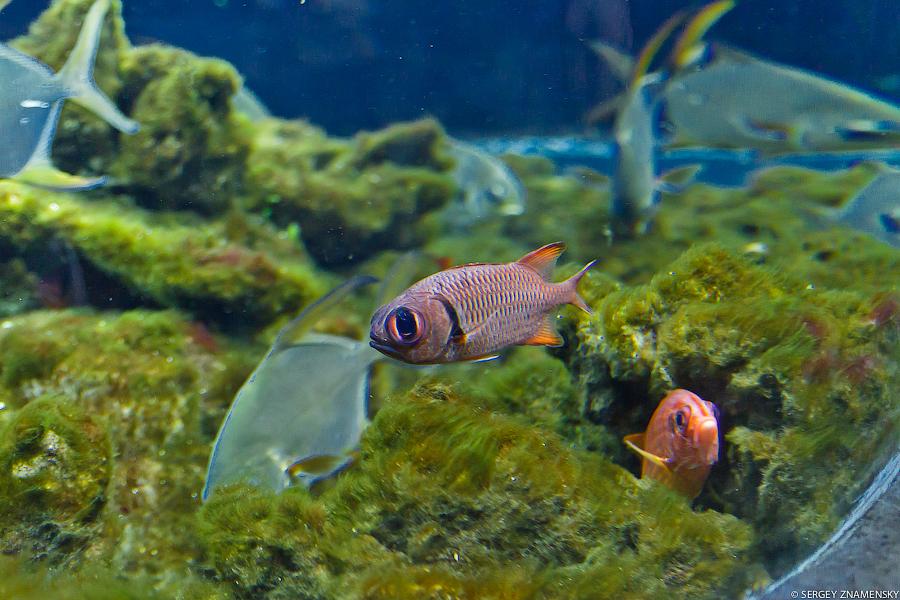 Рыба с большими глазами: