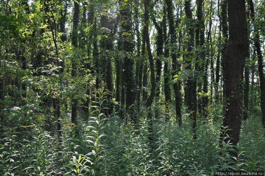 Деревья, увитые плющом