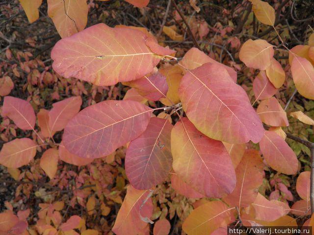 Из листьев этого растения в прошлом наши бабушки добывали красную краску. Помните красные сафьяновые сапожки? Вот ...