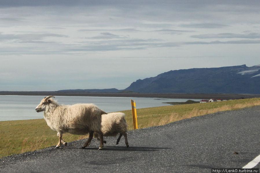 коварные овцы