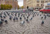 На площади обитают очень голодные голуби