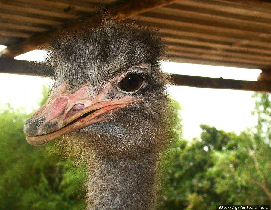 Клюв страуса — это грозное оружие