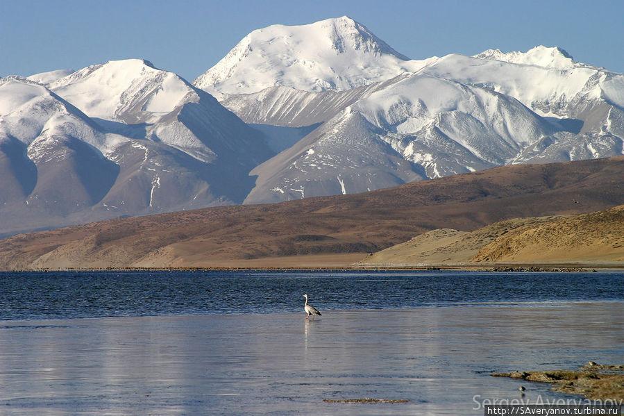 Гусь на Манасароваре. На заднем плане Гималаи, хребет Гурла Мандхата (7694 м) Дарчен, Китай