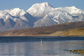 Гусь на Манасароваре. На заднем плане Гималаи, хребет Гурла Мандхата (7694 м)