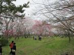 Люди устраивают ханами (любование сакурой) прямо на территории крепости
