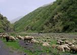 И овцы,везде овцы!
