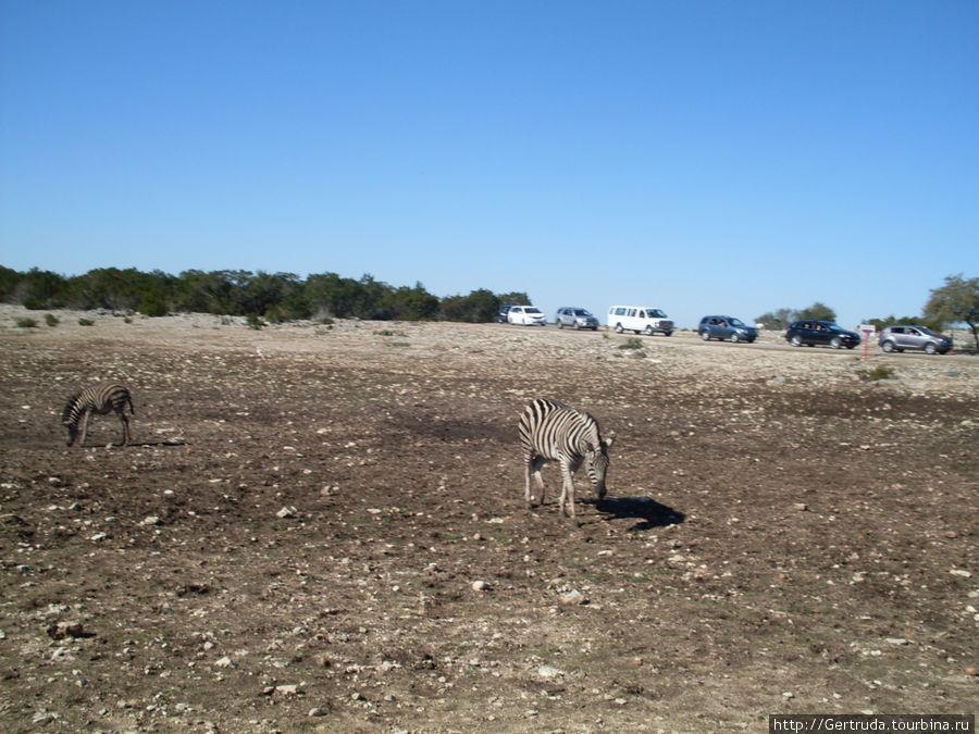 Сухое долгое лето — травы почти не осталось, но зебры что-то щиплют...