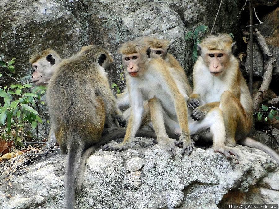 Вездесущие обезьянки — нынешние постоянные обитатели  легендарной скалы Сигирия, Шри-Ланка