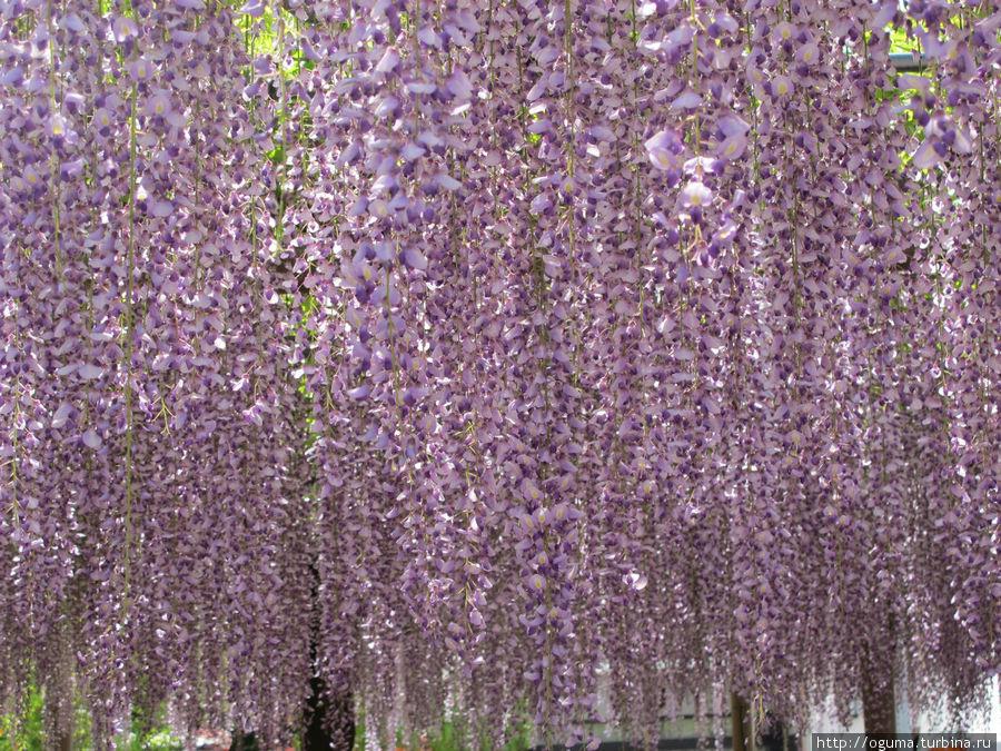 А вот она, красавица глициния Конан, Япония