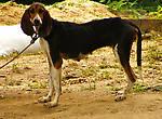 Собака охотничей породы