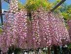Розовая глициния