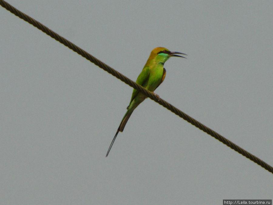 Гоанская птичка