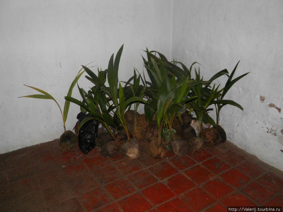 Будущие кокосовые пальмы.