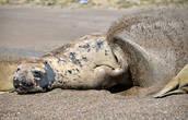 Хотя — надо отдать слонам должное — некоторые телодвижения они таки производят. Например, с периодичностью в 5-7 минут зверюги флегматично взмахивают ластой и закидывают себе на спину горсть теплых песочных камешков… Вот только не понятно, зачем — то ли греются, то ли мух отгоняют…