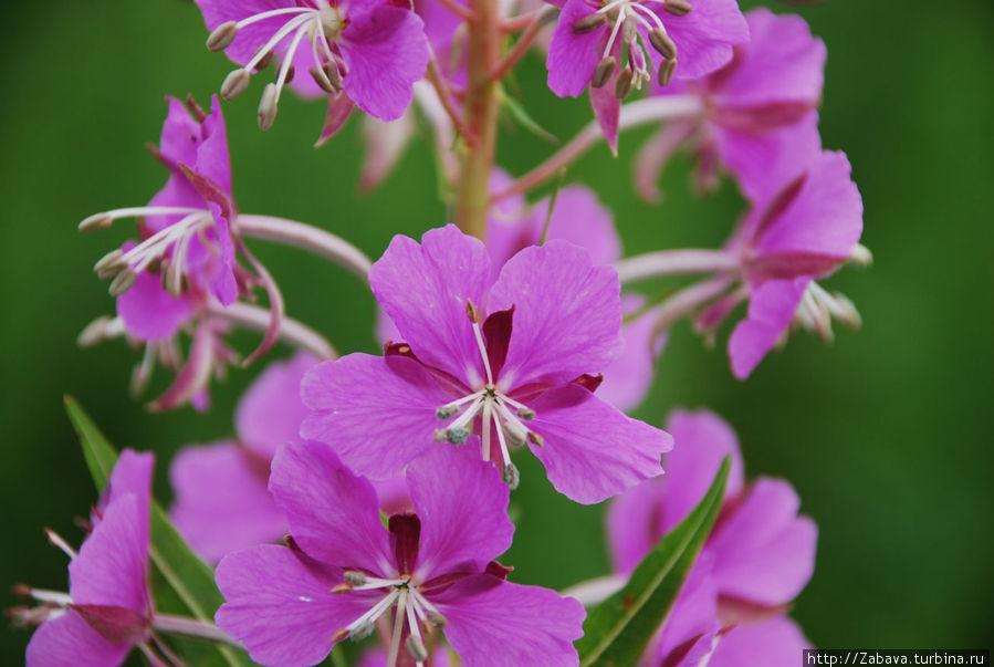 Цветущий иван-чай. Собирать его можно с 21 июня до того, момента, пока не оцветет.