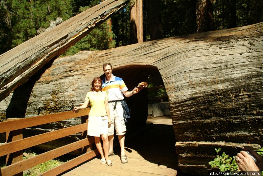 Деревья просто огромны — вот какой проход сделали в стволе одного упавшего Национальный парк Секвойя, Соединенные Штаты Америки