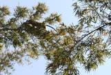 По деревьям скачут серые лангуры