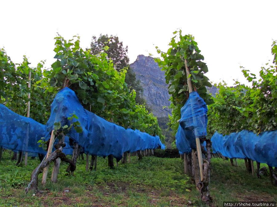 собственные виноградники