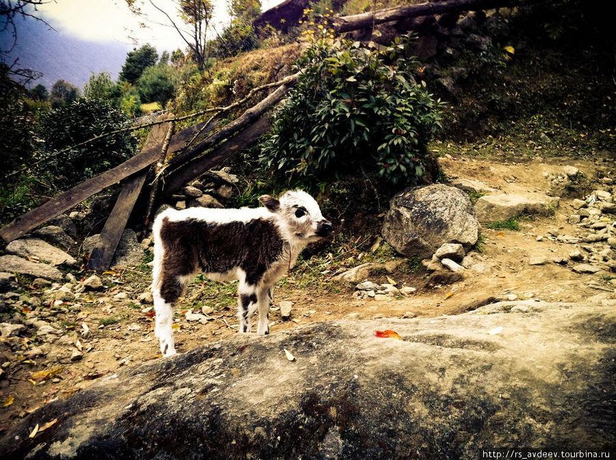 Еще один совсем маленький теленок