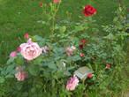 Потрясающие розы =)