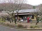 Тут же продают традиционные бонсаи.