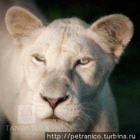 Белые львы Тимбавати
