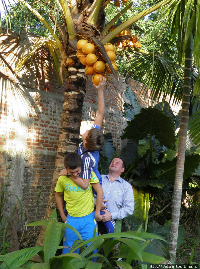 А кокосы, прямо, вот так и растут во дворе.