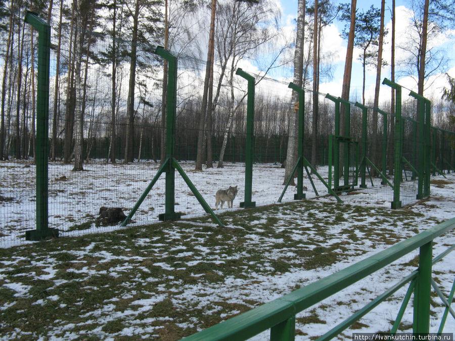 Волка, оказывается, тоже можно напугать резкими движениями... Но, в лесу я бы не рискнул пугать волков...