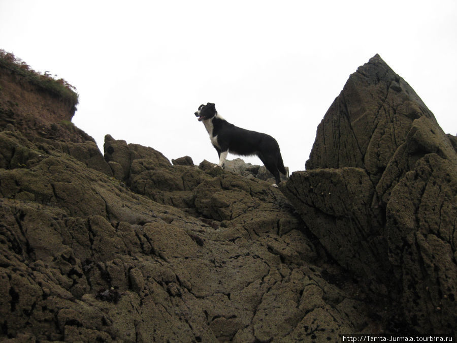 Border Collie. Горная пастушья собака.