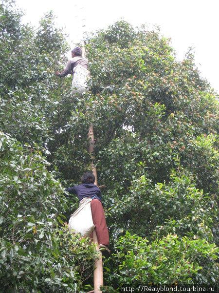 Сбор гвоздики, работа не из простых и занимаются этим исключительно балийские женщины