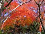 Последующие фото сделаны через несколько дней, когда ночные заморозки заставили клёны сбросить листву