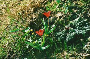 Дикие горные тюльпаны